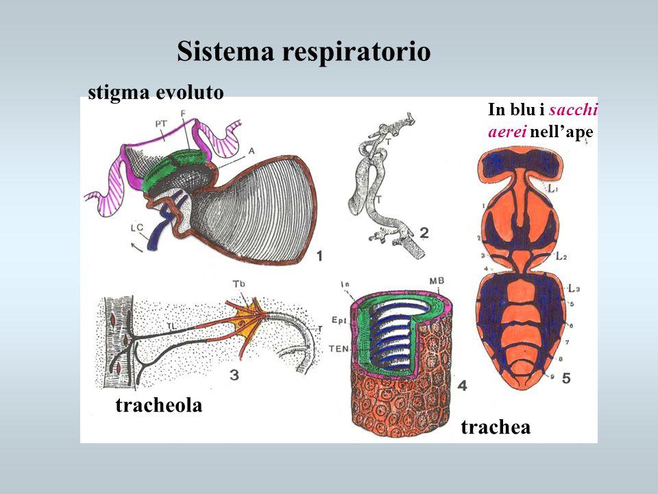 Sistema respiratorio tracheola stigma evoluto trachea In blu i sacchi aerei nellape