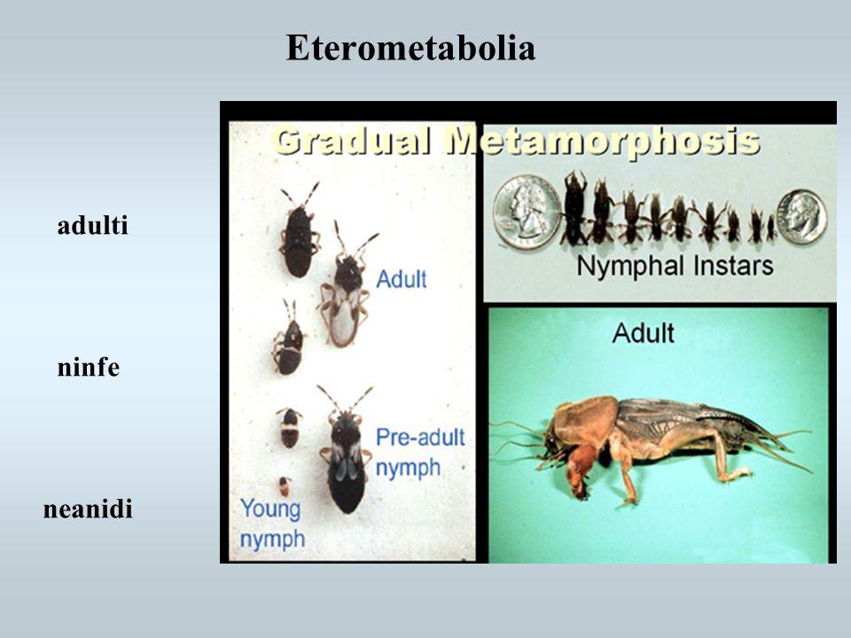 Eterometabolia neanidi ninfe adulti