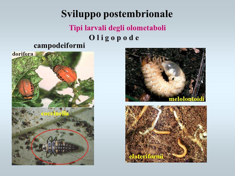 Sviluppo postembrionale Tipi larvali degli olometaboli campodeiformi O l i g o p o d e elateriformi melolontoidi dorifora coccinella