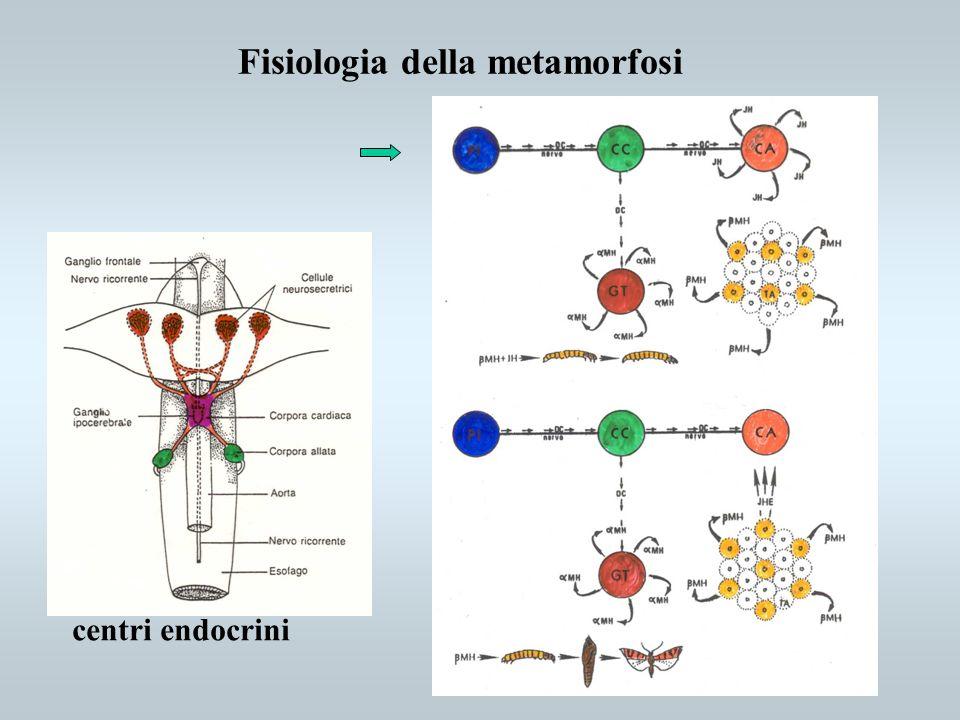 centri endocrini Fisiologia della metamorfosi