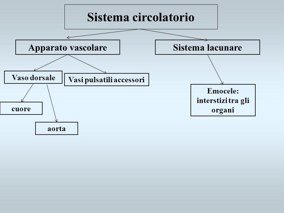Sistema circolatorio Apparato vascolareSistema lacunare Vaso dorsale Vasi pulsatili accessori cuore aorta Emocele: interstizi tra gli organi