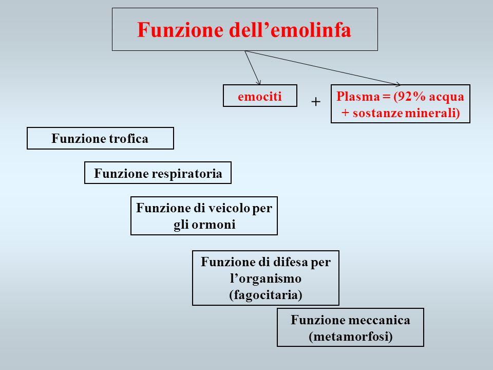 Funzione dellemolinfa Funzione trofica Funzione respiratoria Funzione di veicolo per gli ormoni Funzione di difesa per lorganismo (fagocitaria) Funzio