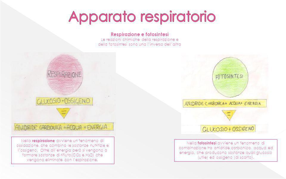 Respirazione e fotosintesi Le reazioni chimiche della respirazione e della fotosintesi sono una linverso dellaltra Nella respirazione avviene un fenom