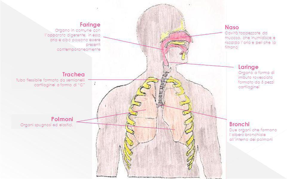 pleura trachea bronchi bronchioli alveolo globuli rossi con ossigeno globuli rossi con anidride carbonica ossigeno anidride carbonica alveolo