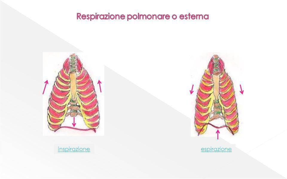 anidride carbonica acqua capillare venoso capillare arterioso ossigeno ENERGIA mitocondrio