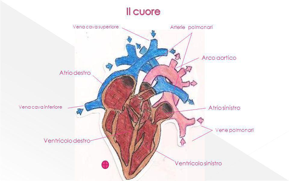 Arco aortico Atrio destro Atrio sinistro Ventricolo destro Vene polmonari Arterie polmonari Ventricolo sinistro Vena cava inferiore Vena cava superior
