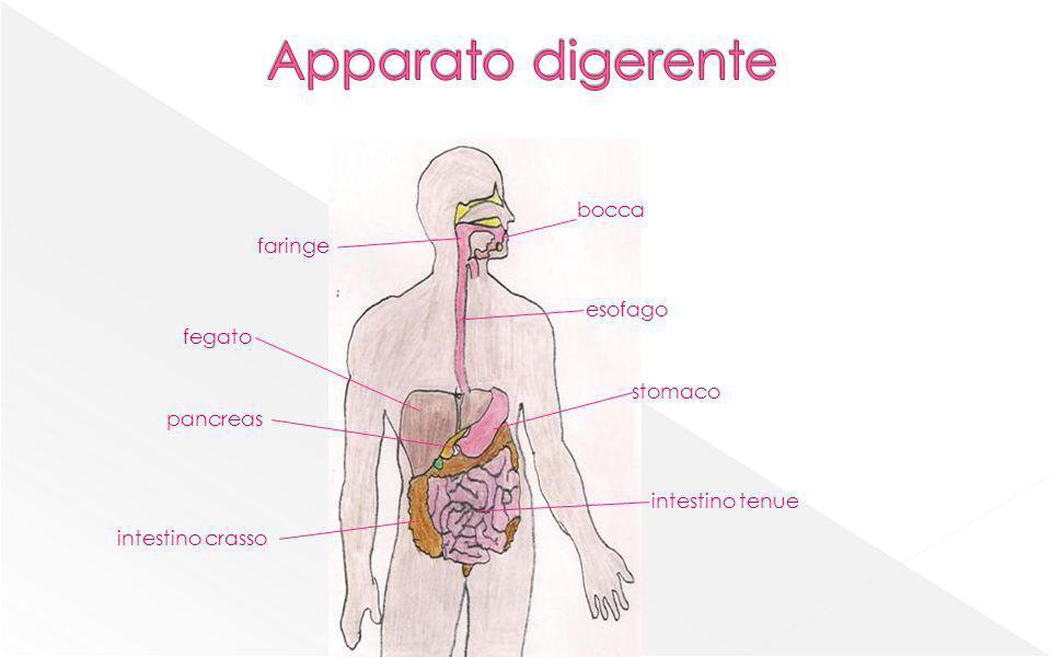 bocca faringe esofago fegato stomaco pancreas intestino crasso intestino tenue
