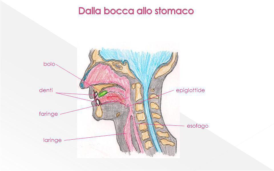 dentiepiglottide laringe faringe esofago bolo