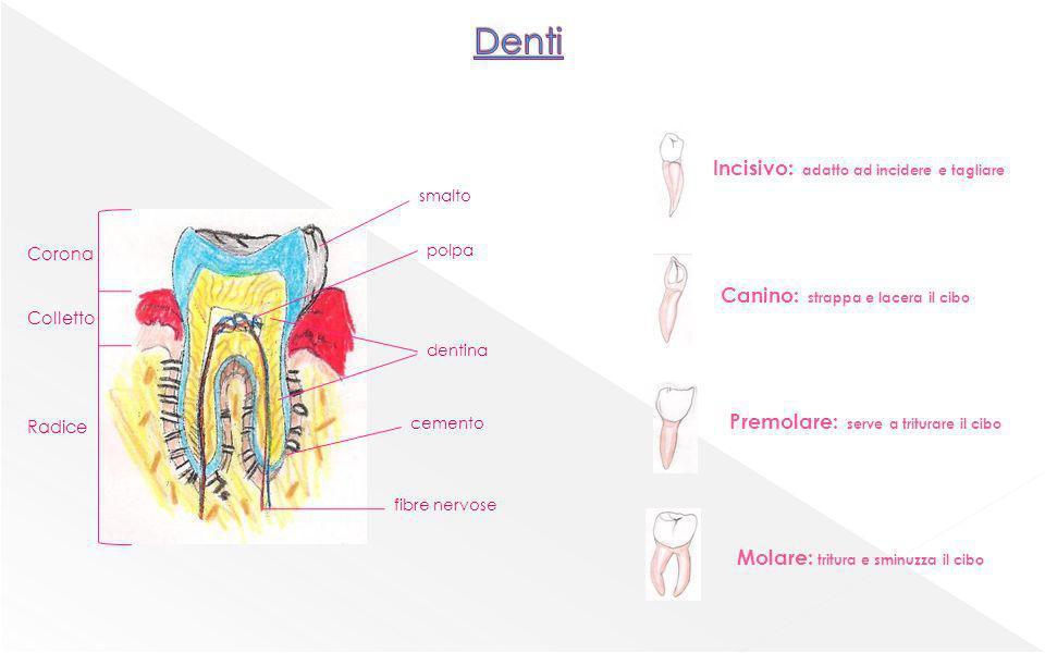 cardias piloro mucosa tessuto muscolare