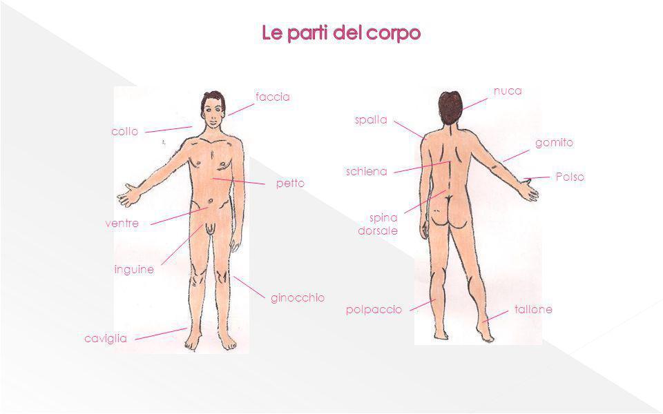 Cellula con forma diversa per ogni funzione Apparato Insieme di organi diversi o Sistema insieme di organi uguali Organo insieme di tessuti diversi Tessuto formato da cellule con stessa forma e funzione Organismo Insieme di apparati e sistemi