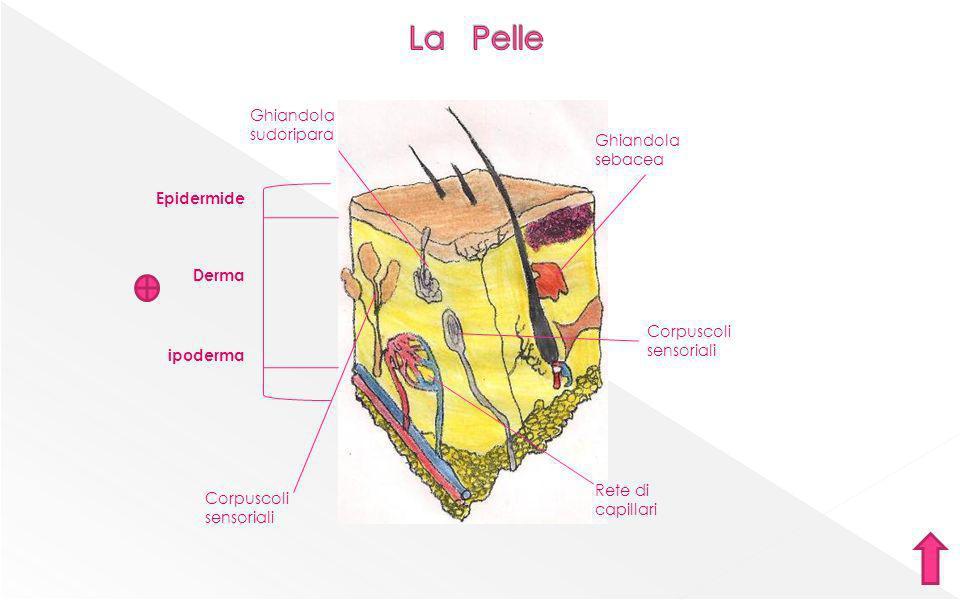 Corpuscoli sensoriali Ghiandola sudoripara Ghiandola sebacea Rete di capillari Corpuscoli sensoriali Epidermide Derma ipoderma