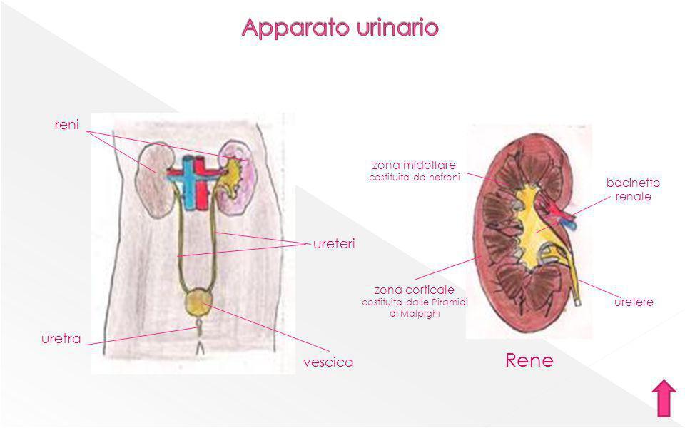 Maschile Spermatozoo testicoli pene uretra prostata vescicole seminali dotto deferente testa flagello
