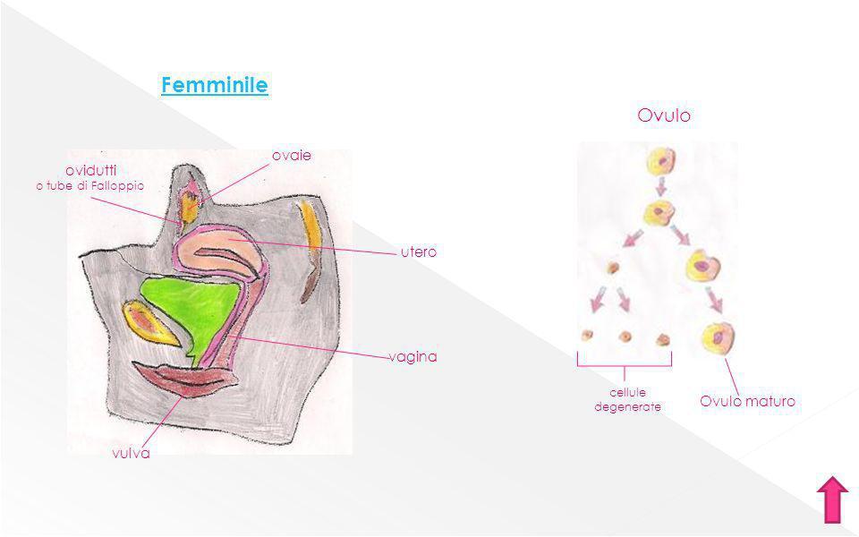 Femminile Ovulo Ovulo maturo cellule degenerate ovaie ovidutti o tube di Falloppio utero vagina vulva
