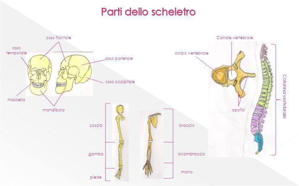 mandibola osso frontale osso parietale osso occipitale osso temporale mascella coscia gamba piede braccio avambraccio mano corpo vertebrale Canale ver