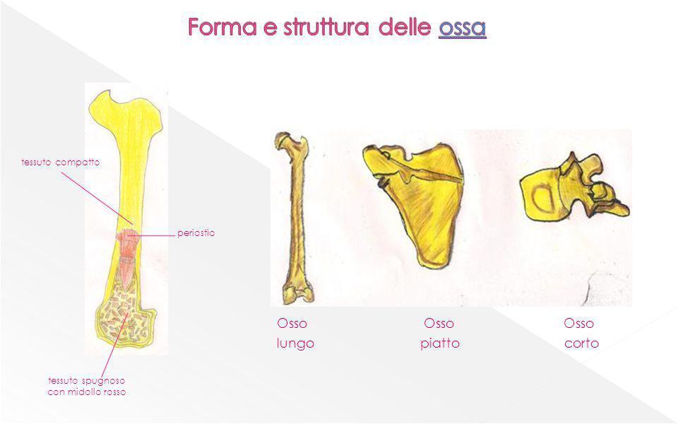 Osso Osso Osso lungo piatto corto periostio tessuto spugnoso con midollo rosso tessuto compatto