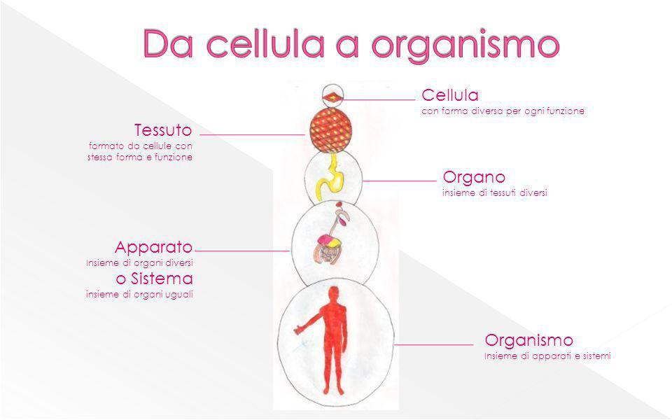 Cellula con forma diversa per ogni funzione Apparato Insieme di organi diversi o Sistema insieme di organi uguali Organo insieme di tessuti diversi Te