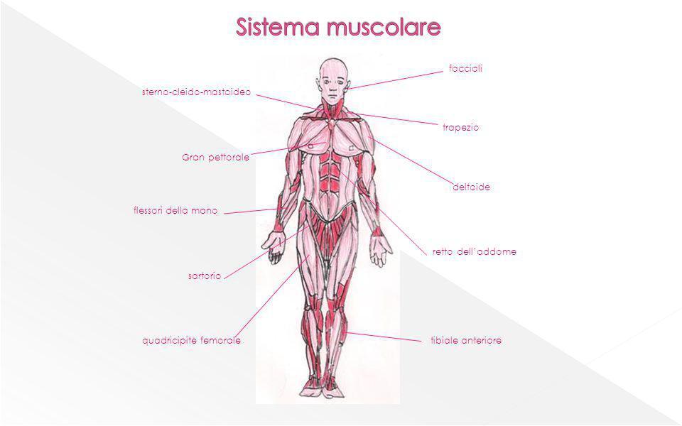 Muscolo liscio Muscolo striato actina miosina Stato di contrazioneStato di rilassamento fibre miofibrille tendine muscolo fascio di fibre