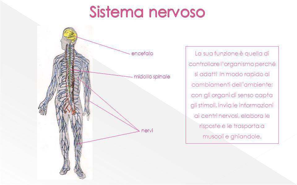 Corpo cellulare contiene il nucleo Dendriti Prolungamenti più corti e molto ramificati del corpo cellulare Guaina mielinica rivestimento dellassone Assone Prolungamento più lungo del corpo cellulare