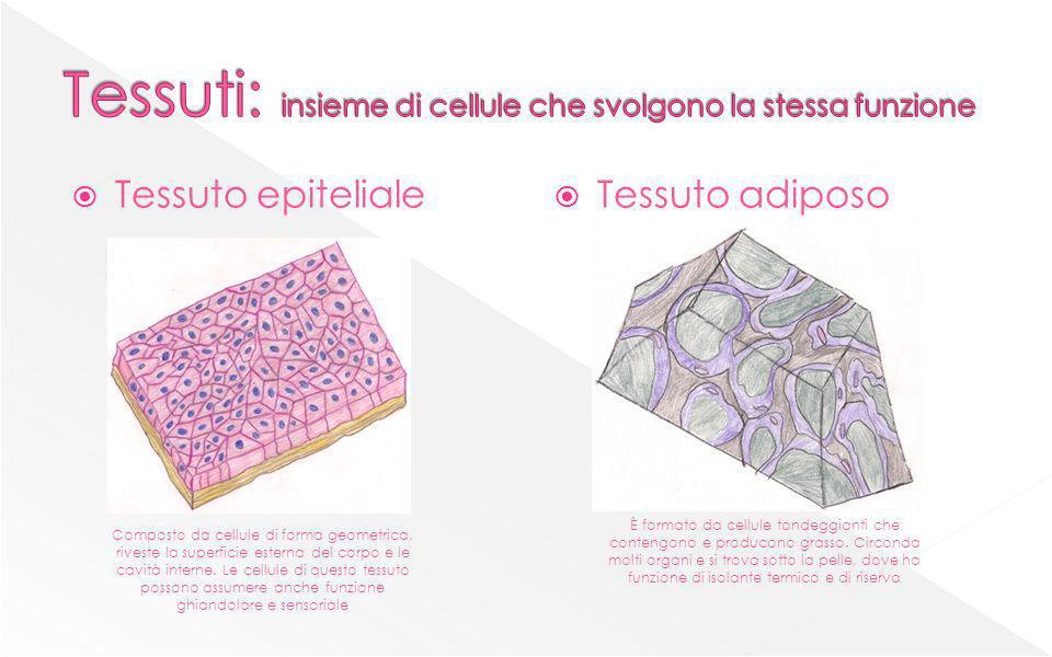 Tessuto epiteliale Tessuto adiposo Composto da cellule di forma geometrica, riveste la superficie esterna del corpo e le cavità interne. Le cellule di