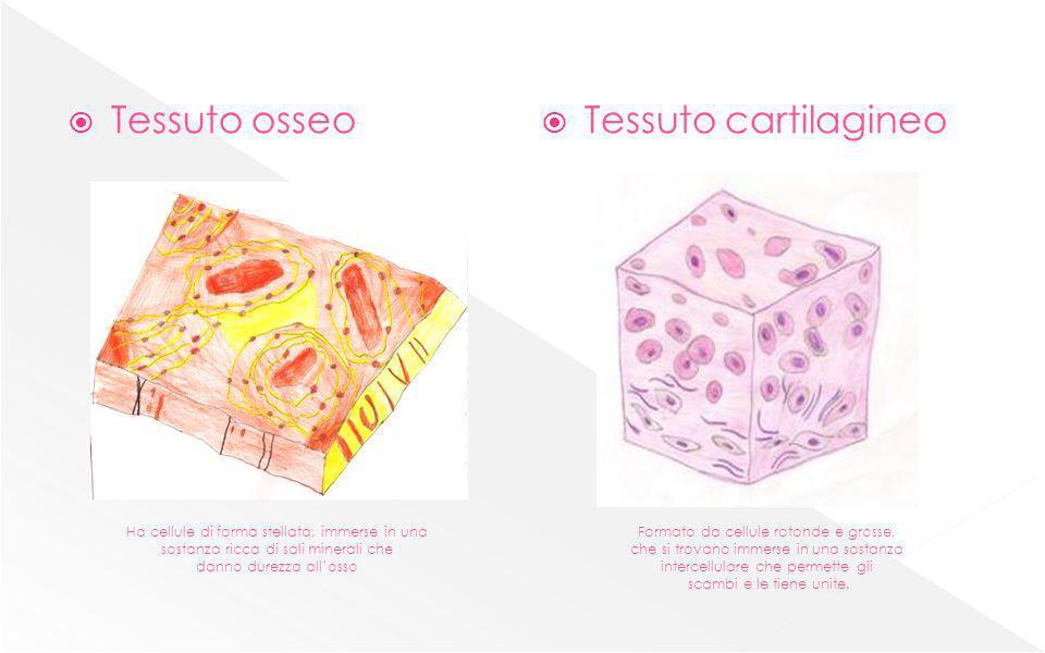 Tessuto osseo Tessuto cartilagineo Ha cellule di forma stellata, immerse in una sostanza ricca di sali minerali che danno durezza allosso Formato da c