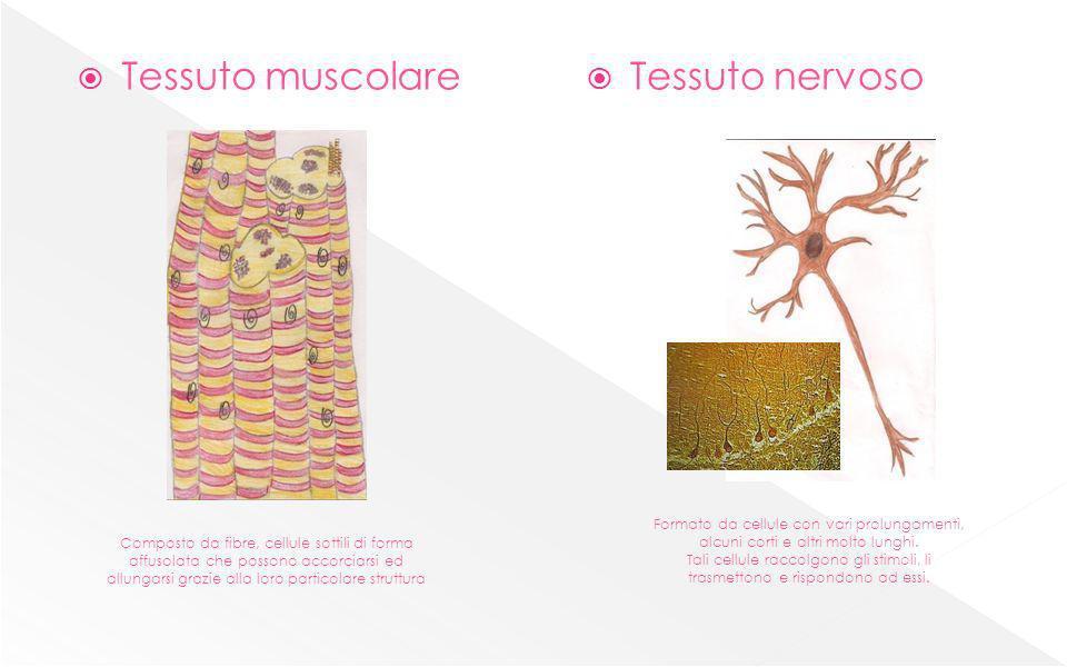 Tessuto muscolare Tessuto nervoso Composto da fibre, cellule sottili di forma affusolata che possono accorciarsi ed allungarsi grazie alla loro partic