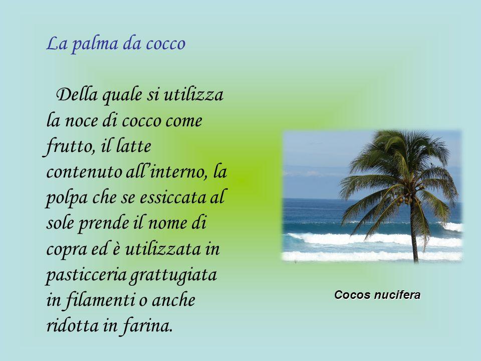La palma da cocco Della quale si utilizza la noce di cocco come frutto, il latte contenuto allinterno, la polpa che se essiccata al sole prende il nom