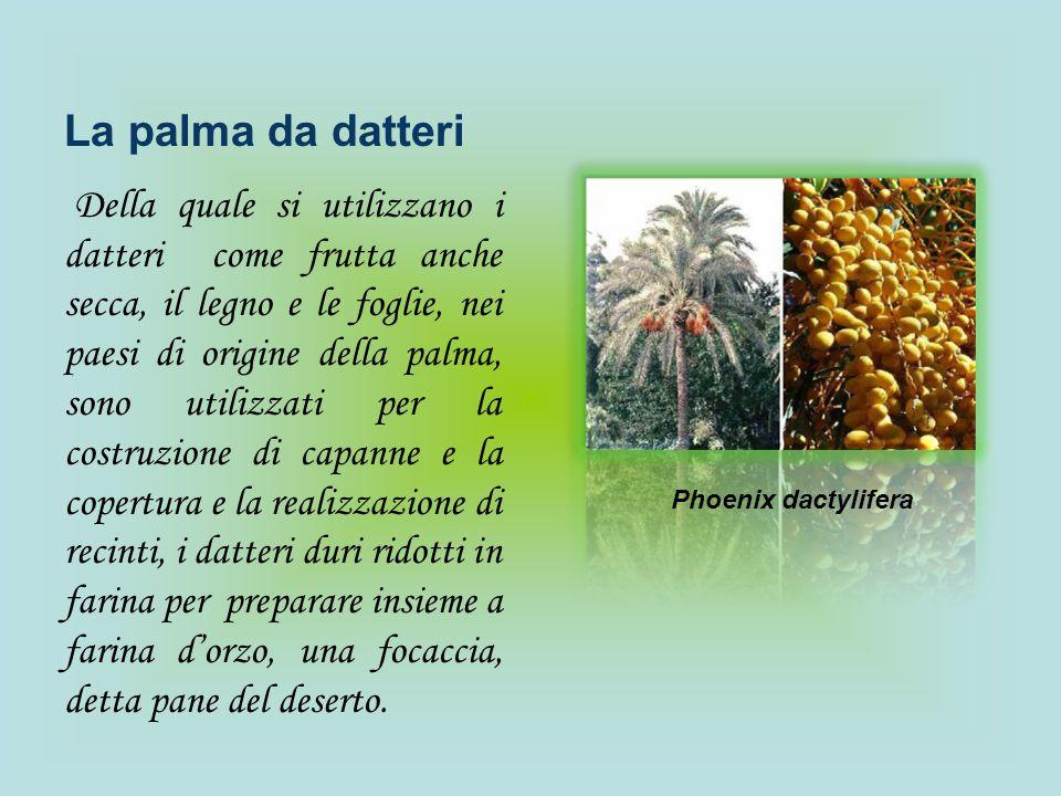 La palma da datteri Della quale si utilizzano i datteri come frutta anche secca, il legno e le foglie, nei paesi di origine della palma, sono utilizza
