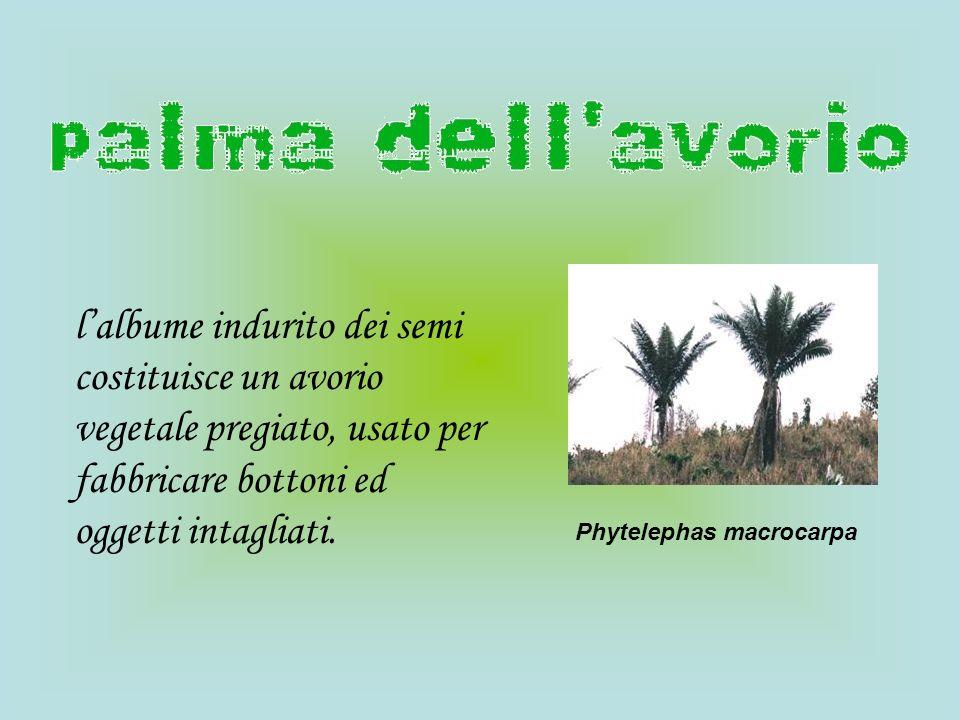 lalbume indurito dei semi costituisce un avorio vegetale pregiato, usato per fabbricare bottoni ed oggetti intagliati. Phytelephas macrocarpa