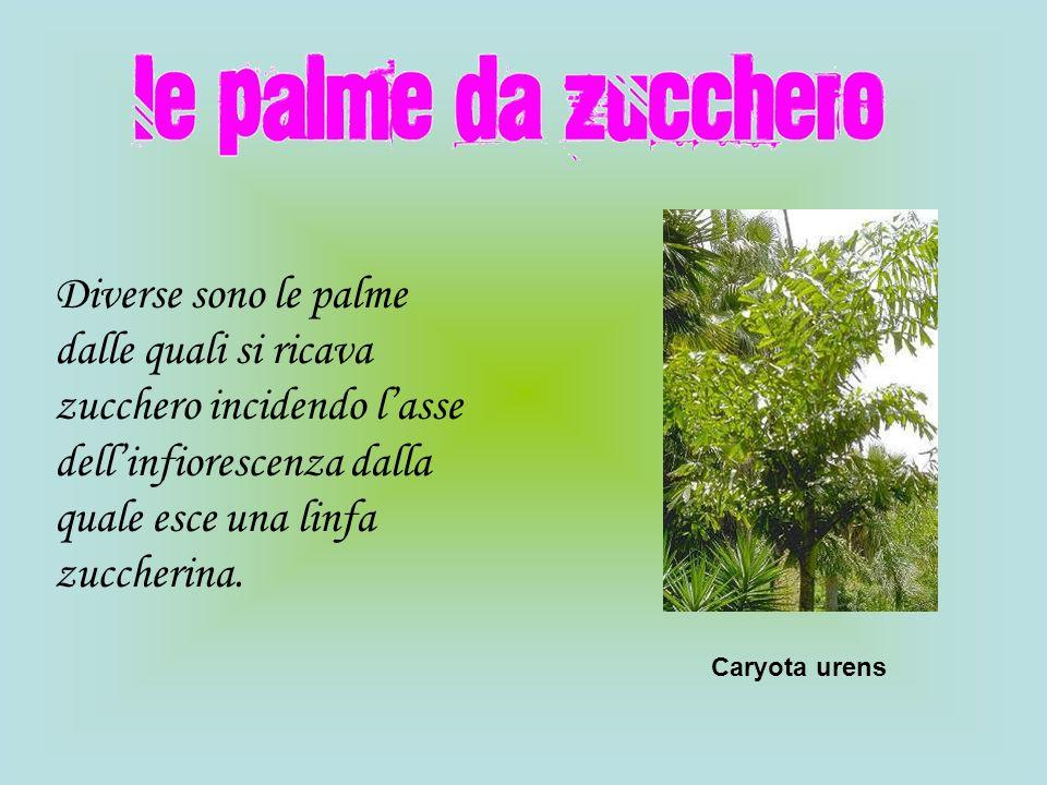 Diverse sono le palme dalle quali si ricava zucchero incidendo lasse dellinfiorescenza dalla quale esce una linfa zuccherina. Caryota urens