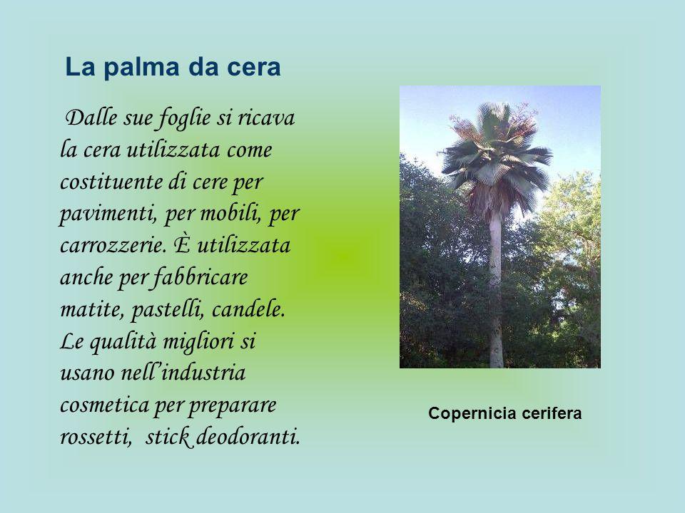 La palma da cera Dalle sue foglie si ricava la cera utilizzata come costituente di cere per pavimenti, per mobili, per carrozzerie. È utilizzata anche