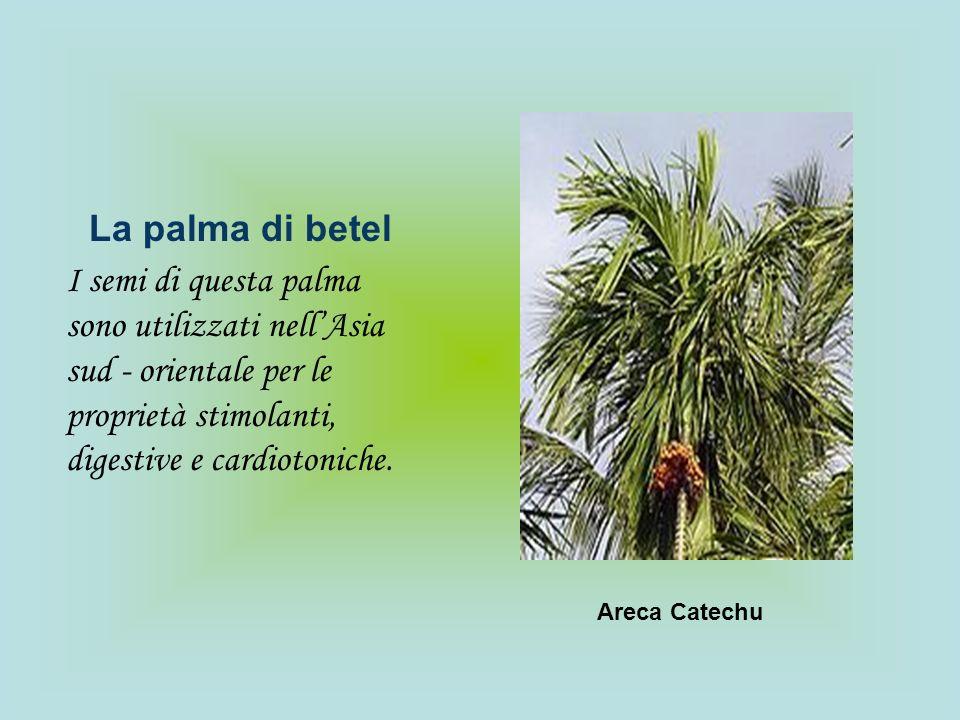 La palma di betel I semi di questa palma sono utilizzati nellAsia sud - orientale per le proprietà stimolanti, digestive e cardiotoniche. Areca Catech