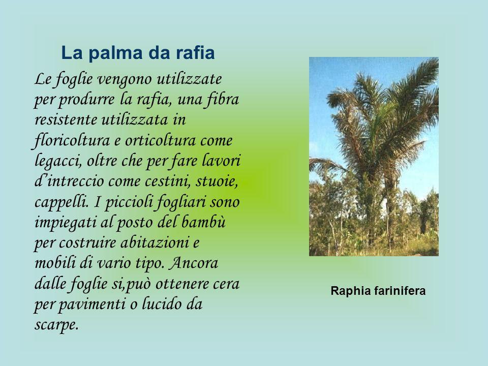 La palma da rafia Le foglie vengono utilizzate per produrre la rafia, una fibra resistente utilizzata in floricoltura e orticoltura come legacci, oltr