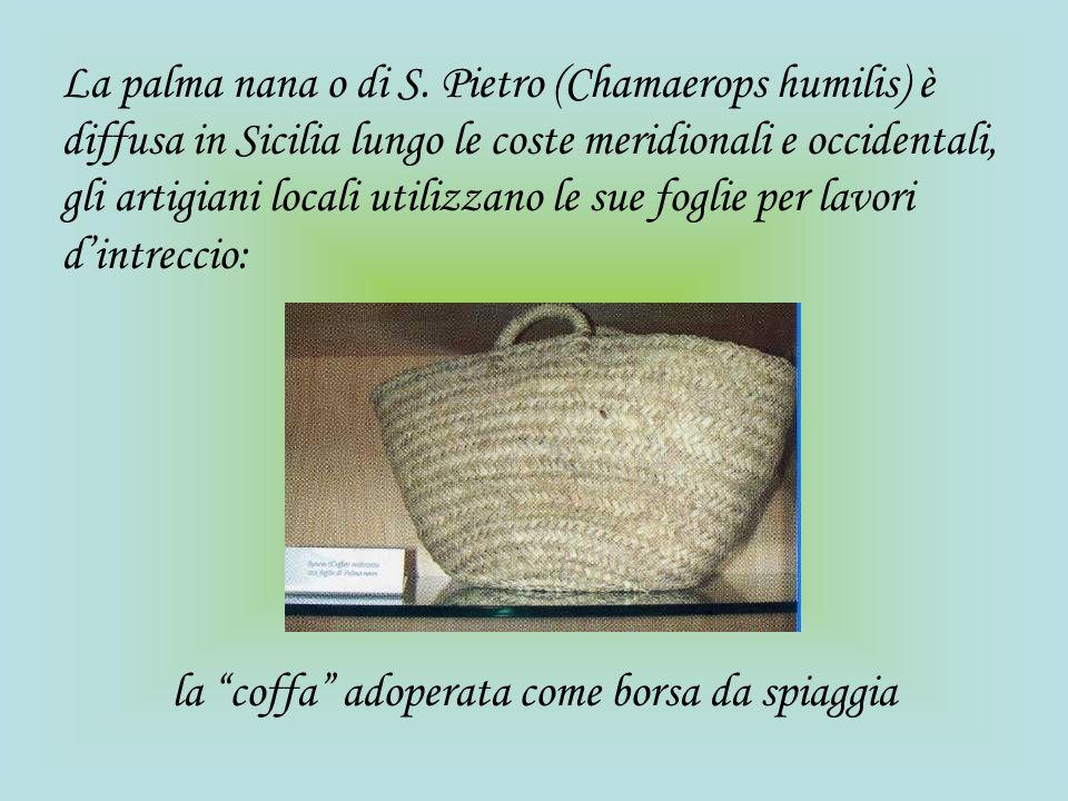 La palma nana o di S. Pietro (Chamaerops humilis) è diffusa in Sicilia lungo le coste meridionali e occidentali, gli artigiani locali utilizzano le su