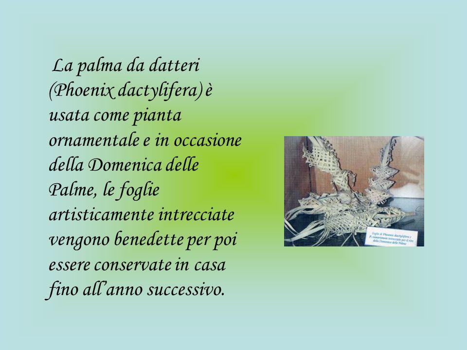 La palma da datteri (Phoenix dactylifera) è usata come pianta ornamentale e in occasione della Domenica delle Palme, le foglie artisticamente intrecci
