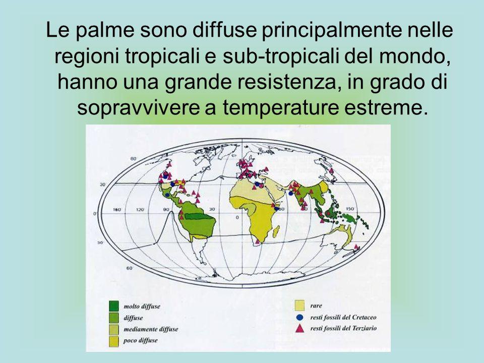 Le palme sono diffuse principalmente nelle regioni tropicali e sub-tropicali del mondo, hanno una grande resistenza, in grado di sopravvivere a temper