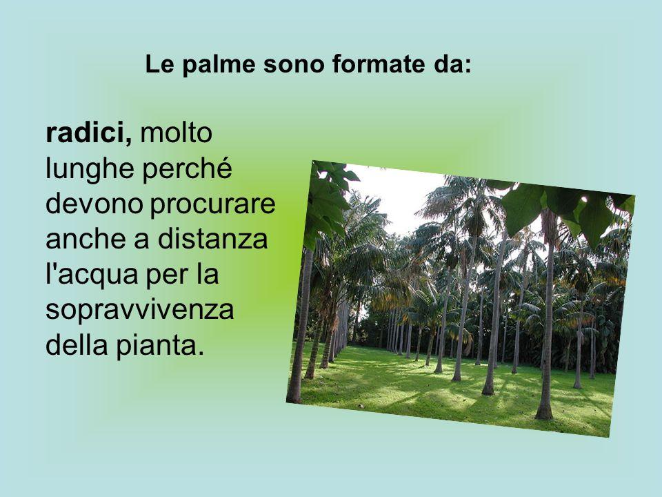 radici, molto lunghe perché devono procurare anche a distanza l'acqua per la sopravvivenza della pianta. Le palme sono formate da: