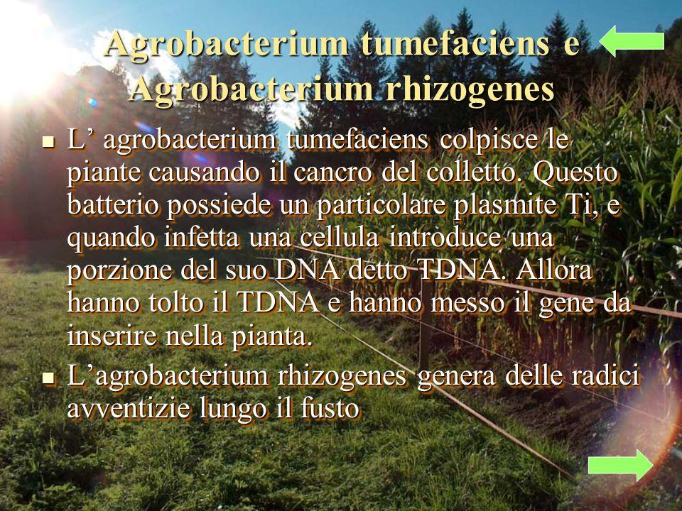 Agrobacterium tumefaciens e Agrobacterium rhizogenes L agrobacterium tumefaciens colpisce le piante causando il cancro del colletto.