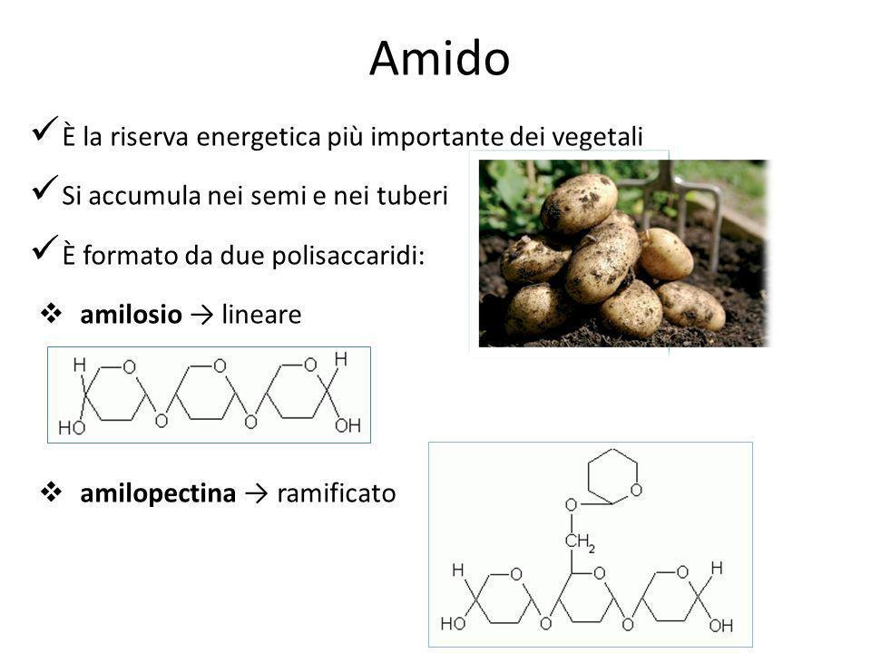 È la riserva energetica più importante dei vegetali Si accumula nei semi e nei tuberi È formato da due polisaccaridi: amilosio lineare amilopectina ra