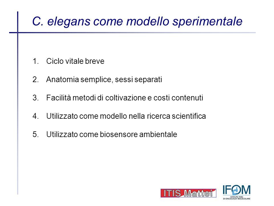 C. elegans come modello sperimentale 1.Ciclo vitale breve 2.Anatomia semplice, sessi separati 3.Facilità metodi di coltivazione e costi contenuti 4.Ut