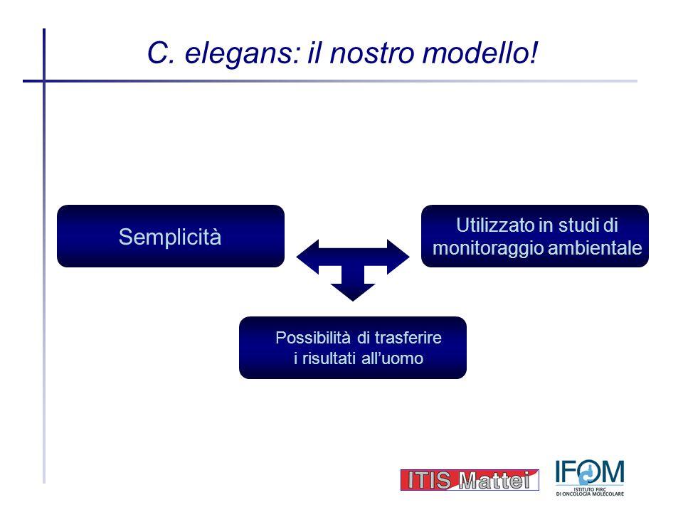 C. elegans: il nostro modello! Semplicità Utilizzato in studi di monitoraggio ambientale Possibilità di trasferire i risultati alluomo