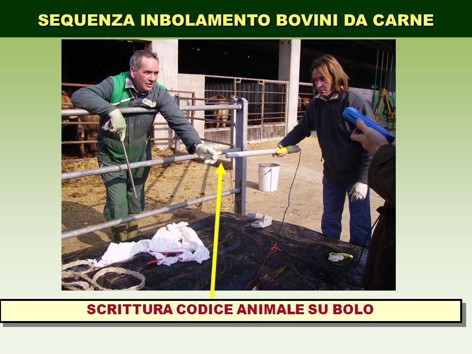 SEQUENZA INBOLAMENTO BOVINI DA CARNE SCRITTURA CODICE ANIMALE SU BOLO