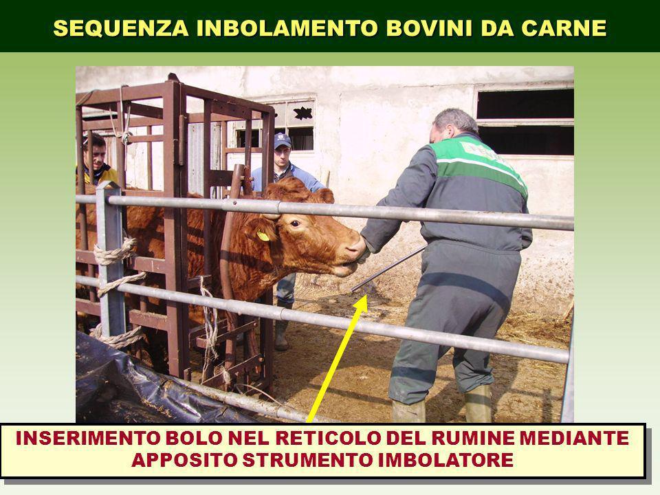 INSERIMENTO BOLO NEL RETICOLO DEL RUMINE MEDIANTE APPOSITO STRUMENTO IMBOLATORE SEQUENZA INBOLAMENTO BOVINI DA CARNE