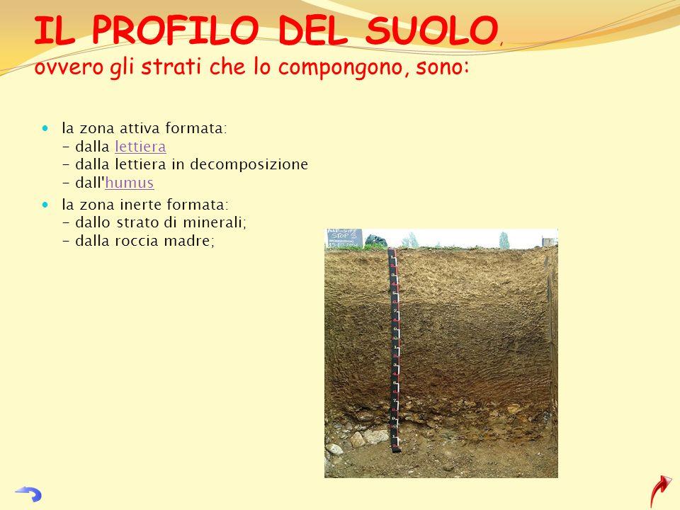 IL PROFILO DEL SUOLO, ovvero gli strati che lo compongono, sono: la zona attiva formata: - dalla lettiera - dalla lettiera in decomposizione - dall'hu