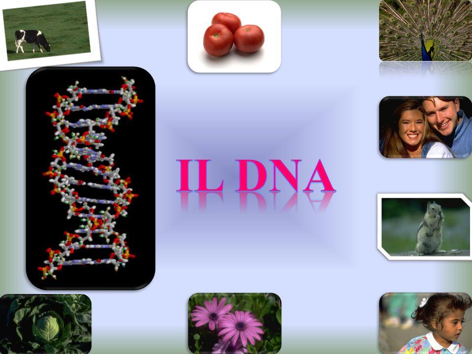 Esse si legano solo ed esclusivamente nel seguente modo: Adenina con Timina mediante due legami idrogeno Citosina con Guanina mediante tre legami idrogeno A T C G