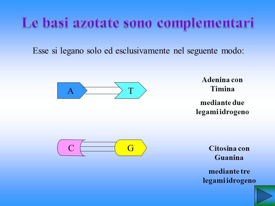 Esse si legano solo ed esclusivamente nel seguente modo: Adenina con Timina mediante due legami idrogeno Citosina con Guanina mediante tre legami idro