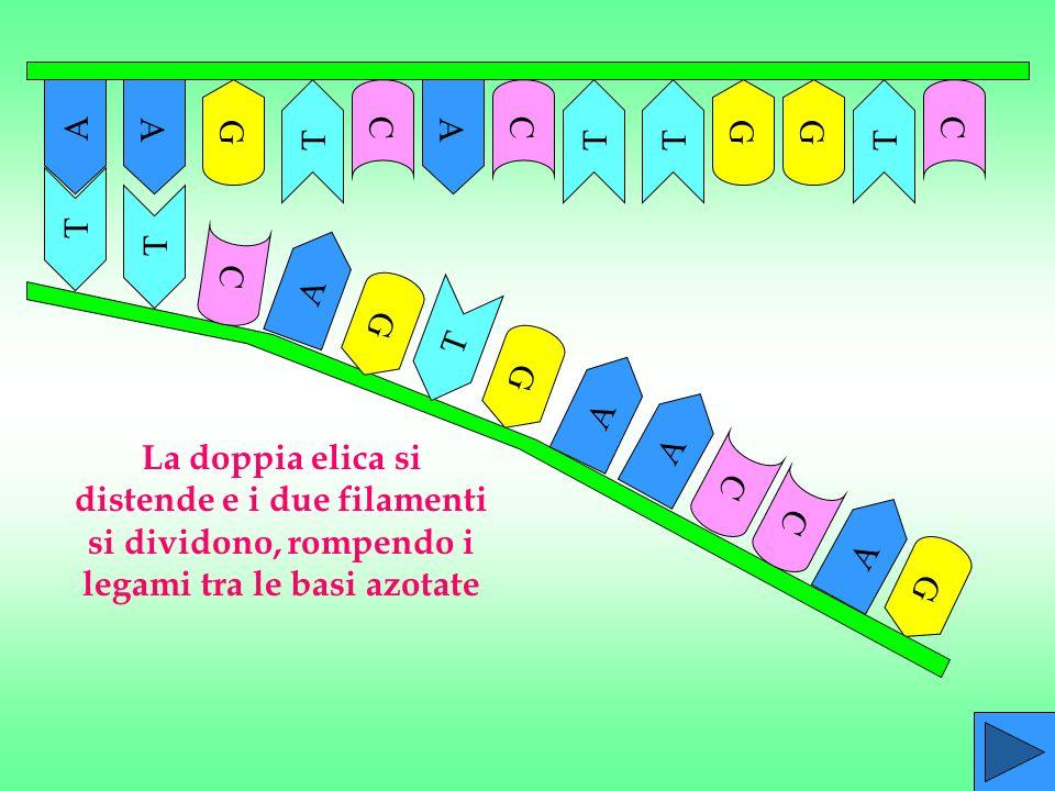 La doppia elica si distende e i due filamenti si dividono, rompendo i legami tra le basi azotate G A A G G C C C T T T A A T C G A AA TTT GG CC
