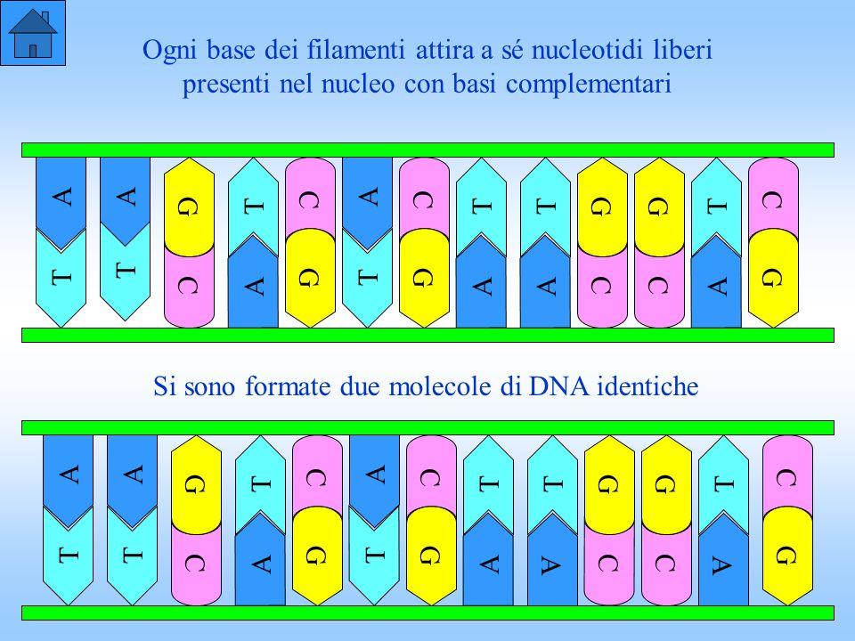 Ogni base dei filamenti attira a sé nucleotidi liberi presenti nel nucleo con basi complementari T C A TTT G CC AA GG T T C A G T G AA CC A G Si sono