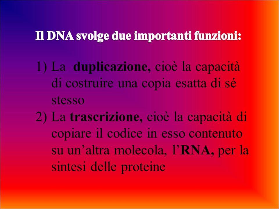 La molecola del DNA è formata da due lunghi filamenti, ciascuno formato da una serie di nucleotidi e avvolti luno sullaltro a formare una doppia elica.