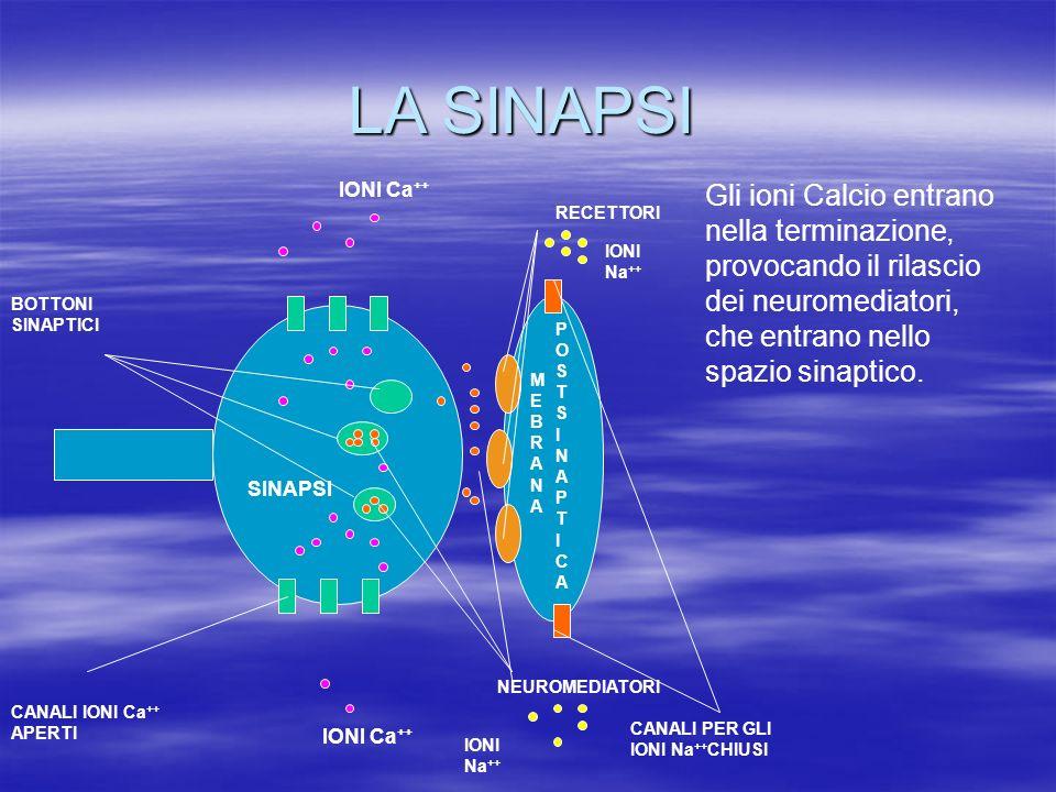 LA SINAPSI SINAPSI MEBRANAMEBRANA POSTSINAPTICAPOSTSINAPTICA IONI Ca ++ RECETTORI BOTTONI SINAPTICI NEUROMEDIATORI Gli ioni Calcio entrano nella termi