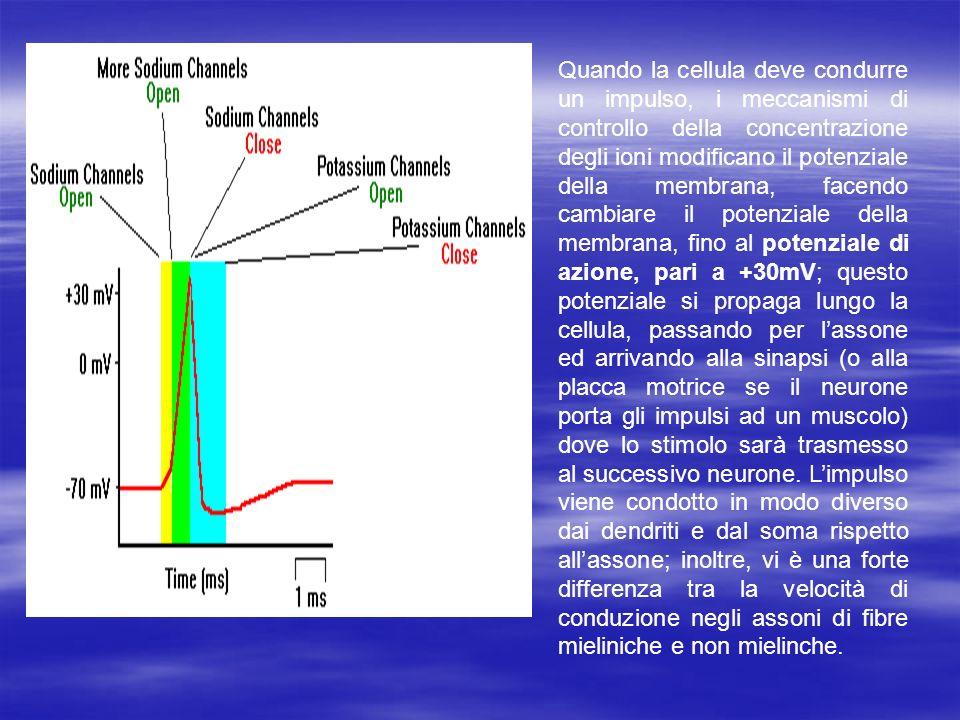 Conduzione negli assoni mielinizzati La mielina è una sostanza prodotta da alcune cellule gliali (oligodendrociti nel SNP e cellule di Schwann nel SNC) che ricoprono alcuni assoni facilitando la conduzione dellimpulso.